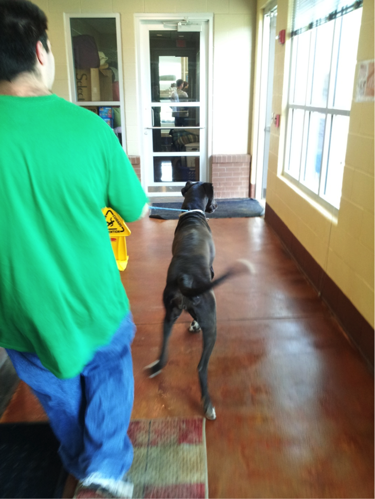 Rosie pulling the adoption facility employee…look at the worker's angled body as he holds her back!